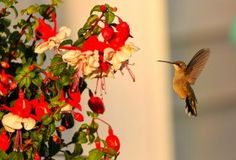 Plants & Flowers to Attract Hummingbirds <3 Love hummingbirds? Attract them to your backyard with recommendations on plants & flowers that attract hummingbirds & gardening tips & tricks from our experts. Read more: http://www.birdsandblooms.com/gardening/plants-and-flowers-to-attract-hummingbirds/#ixzz3JvqxQmNv