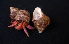 Birgus latro, Coconut Crab a.k.a. ketam/ketam kenari