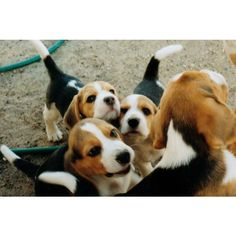 Beagle Puppy Training | Beagle Training found on Polyvore Everything you need to know about beagles