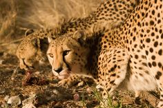 Cheetahs are on the run from extinction, but it's the walk that's killing them