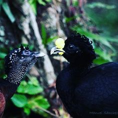 The great curassow is a pheasant-like, monogamous species that spends much of its time on the ground. Males are black with curly crests and yellow beaks; females come in three color morphs: barred, rufous, and black.  Photo by: Manuel Sanchez Mendoza  #costarica #birdsofinstagram #bestbirdshots #wildlife #wildlifephotography @allmightybirds @your_best_birds @bestbirdshots #bestoftheday #weekend #tropical #rainforest #funfact #monogamy #biology #ornithology #puravida #DANTA
