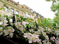 Parisian Hotel Particulier and pink clematis