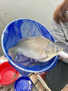 Japanese crucian carp. Hanyu-shi,Saitama,Japan. おとな釣り倶楽部ロケ.椎木湖で人生2度目のヘラブナ釣り.1キロ超え2匹.