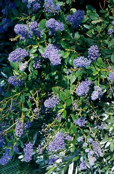 Find help & information on Ceanothus 'Burkwoodii' Californian lilac 'Burkwoodii' from the RHS Pretty Flowers, Purple Flowers, Planting Flowers, Flowering Plants, Garden Projects, Garden Ideas, Early Spring, Deep Purple, Evergreen