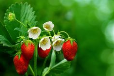 Grow an Edible Landscape, strawberries