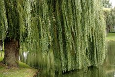 Weeping Willow Tree, my favorite tree!