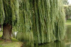 Weeping Willow Tree, my favorite tree!