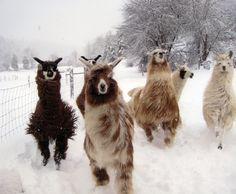 Llamas!!