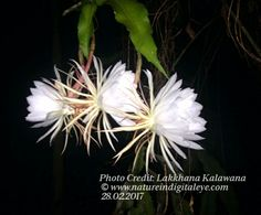 """The Queen of the night, """"Kadupul"""",  Species of the Cactus family, blooms rarely and only at night. It's considered to be one of most expensive flowers.   Photo credit: Lakkhana Kalawana"""