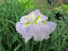 JAPANESE IRIS - PINK MYSTERY. We have a good supply of Pink Mystery for this Friday and Saturday's open house. They just started blooming today. #japaneseiris