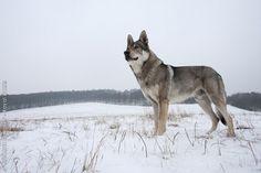 Der Tschechoslowakische Wolfhund ist von festem Konstitutionstyp, übermittelgroß und im rechteckigen Rahmen. Sein Körperbau, seine Bewegungen, die Behaarung, Haarfarbe und Maske sind dem Wolf ähnlich. Er ist temperamentvoll, sehr aktiv, ausdauerfähig, gelehrig, kann schnell reagieren und ist furchtlos und mutig sowie natürlich misstrauisch und seinem Herrn gegenüber ungemein treu. Gegenüber Witterungseinflüssen ist er widerstandsfähig und zudem vielseitig verwendbar.