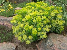 Gulltörel, _Euphorbia polycroma_ 'Lacy', ihopblandad med några helgröna strån av arten. I bakgrunden Iris 'Buttercup'  Foto: Sylvia Svensson