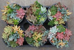 Gardens - 1 Gallon of Succulents bulk wholesale wedding Favor gifts at the succulent source - 6