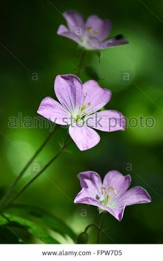 Download this stock image: Geranium Wildflower - FPW7D5 from Alamy's library of millions of high resolution stock photos, illustrations and vectors.