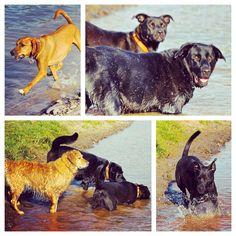 #polpettawoof and friends hanging near the pond. #evasplaypupspa #dogs #dogcamp #doggievacays #dogsinnature #dogsofinstagram #labsofinstagram #badassbk #adoptdontshop #rescuedog #runfree #wetdogs #autumn #sweaterweather #endlessmountains #mountpleasant #PA #pennsylvania