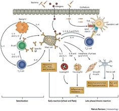 Role of mast cells in allergic and non-allergic immune responses: comparison of human and murine data