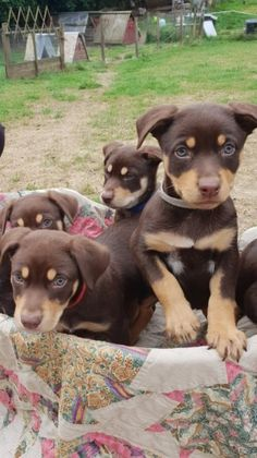 A gorgeous litter of Australian Chocolate and Tan Kelpie pups for sale. Both Dogs and Bitches available. They are very intelligent, bold, friendly and Australian Shepherds, German Shepherds, Cute Puppies, Cute Dogs, Dogs And Puppies, Doggies, West Highland Terrier, Cute Dog Harness, Scottish Terrier