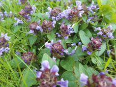 .Isoniittyhumala--Prunella grandiflora