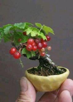 Red currant #bonsai. So tiny and so beautiful! Can you believe it? Red currant bonsai!