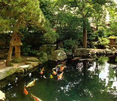 Lively and huge koi in a pond!