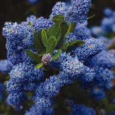 Also known as the Californian Lilac, Ceanothus Pacific Blue (Ceanothus thyrsiflorus) has masses of bright blue flowers that cover this shrub from Flowers, Garden, Native Garden, Hedges, Shrubs, Blue Garden, Plants, Low Maintenance Garden, Garden Express