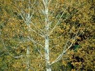 The fast-growing Betula papyrifera features smooth white bark and can grow up to 75 feet. It appreciates partial to full sun, and is drought tolerant. It also attracts birds.