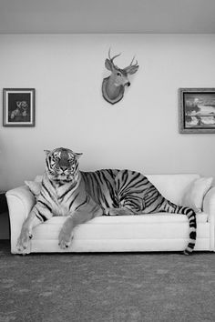 HUMAN - Ok...So that's your sofa now? you think you can just sit on my couch and claim it as yours? TIGER - ROARRRRRRRRRRRRRRRRRRRRRRRRRRRR!!! ...  ( yes )        HUMAN - well ok then.