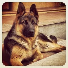 My German Shepherd Dog