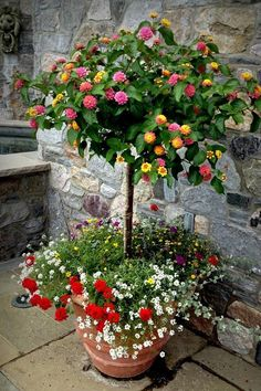 LANTANA in a pot. Zones 10-12 love a hot tropical climate. It is a perennial evergreen shrub that is colorful - yellow, pink, orange.