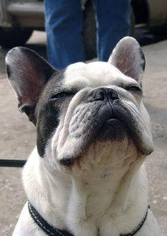 French bulldogs have my heart.. They remind me of stitch from #liloandstitch #hawaii