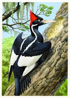 The ivory-billed woodpecker (Campephilus principalis) was one of the largest woodpeckers in the world, at roughly 20inches in length and 30inches in wingspan. Description from imgarcade.com. I searched for this on bing.com/images
