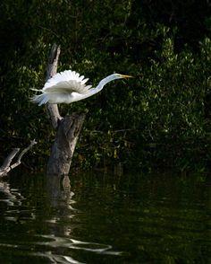 2017-02 Great Egret Rio Lagartos Yucatan Mexico. . . . . . #toptravelspot #greategret #riolagartos #mexico #yucatan  #locationindependent #travel #traveling #instantraveling #instatraveling #travelphotography #wildlifephotography #sonyalpha
