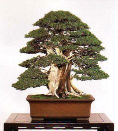 Bonsai Bark | Promoting and Expanding the Bonsai Universe | Page 137