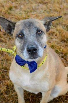 Located in Mullins SC, Beauregard is Urgent!  Please pitch in if you can to help this sweet boy!! https://pledgie.com/campaigns/27420  #141792 Beauregard – male shep mix found as a stray via AC.  update: 12/1/14- alpha male who will do best in a one-dog home. ok with cats.   Approximate Age: 3-5 years old but may be older as his teeth are very worn. Weight: 41 lbs  Suspected Breed: shep mix 4 DX: hw positive, e.canis/w.wingii positive, burgdorferi positive
