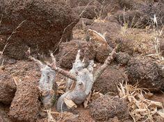 Adenia ellenbeckii Marsabit severne GPS174 Kenya 2012 PV0860
