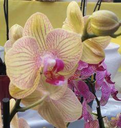 Orchidea sfumata