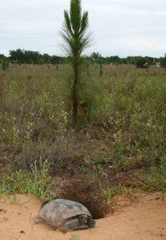 Gopher tortoises thrive at Nokuse Plantation.