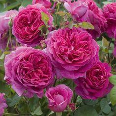 Austin Roses David Austin Roses are the best!David Austin Roses are the best! Rose Fotografie, David Austin Rosen, Rose Anglaise, Rosen Beet, Shrub Roses, Coming Up Roses, Hybrid Tea Roses, Growing Roses, Rose Bush