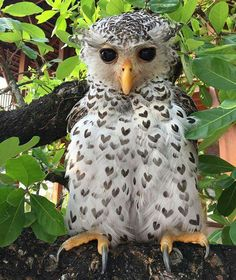 The rare Spot Bellied Eagle Owl has feathers with heart markings.  This owl is also noted for its strange, human-sounding call.  It is found primarily in the lower Himalayas from Kumaon east to Burma.
