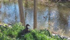 Patos en el río Manzanares