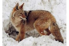 Coyotes have expanded their native range from being mostly a creature of the Western plains and deserts to establish populations in each of the contiguous states in the USA. Coyotes have also adapted . Predator Hunting, Coyote Hunting, Hunting Tips, Hunting Stuff, Bow Hunting, Coyote Tracks, Bobcat Tracks, Coyotes, Coyote Trapping