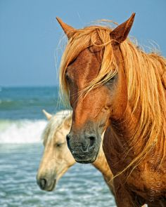 Chincoteaque Wild Ponies on Assateaque Island, VA ~ would love to see them All The Pretty Horses, Beautiful Horses, Animals Beautiful, Cute Animals, Chincoteague Ponies, Chincoteague Island, Chincoteague Virginia, Types Of Horses, All About Horses