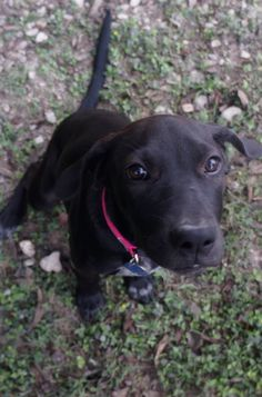 Top Rhodesian Ridgeback Black Adorable Dog - a4e020647c6bc5b8f789641bc3938910--dakota-lab-mixes  Image_77470  .jpg