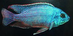 haplochromis hinderi.jpg | Flickr - Photo Sharing!