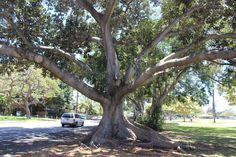 Jabba the Hutt tree?