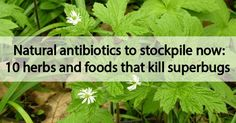 Natural antibiotics to stockpile now: 10 herbs and foods that kill superbugs - Healthy Holistic Living