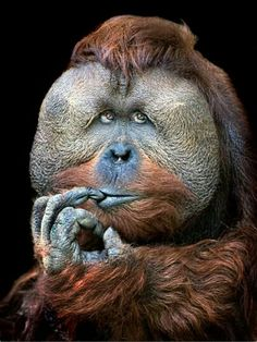 Ape deep in thought.