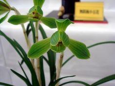 Cymbidium goeringii (Reichenbach f.) Reichenbach f.