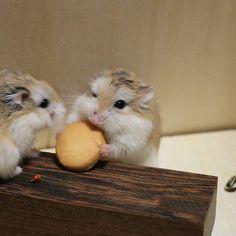 """""""#ハムスター #ロボロフスキー #Hamster #Roborovski #hammy #cute #adorable #pets #hamstergram #petstagram #ふわもこ部 #はむちゃん"""""""