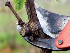 Úkolem zimního řezu je probírka starého odplozeného dřeva a likvidace přebytečných výhonů.
